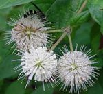 Photo Buttonbush, Honey Bells, Honeyball, Button Willow, white