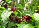Photo Sweet Shrub, Carolina Allspice, Strawberry Shrub, Bubby Bush, Sweet Betsy, burgundy