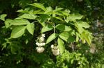 Photo American Bladdernut, white