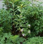Photo White Forsythia, Korean Abelia, white