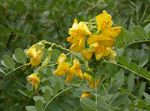 Photo Bladder senna, yellow