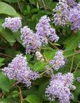 Photo Californian Lilac, lilac