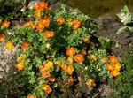 Photo Cinquefoil, Shrubby Cinquefoil, orange