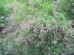 Photo Shrub Bush Clover, pink