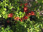 Photo Flowering quince, red