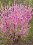 Photo Double Flowering Cherry, Flowering almond, pink