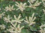 Photo Japanese Pieris, Andromeda, Lily of the Valley Shrub, Fetterbush, Mountain Andromeda, Mountain Pieris, white