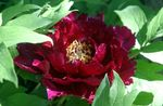 Photo Tree peony, burgundy