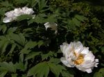 Photo Tree peony, white