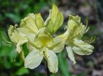 Photo Azaleas, Pinxterbloom, yellow