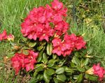 Photo Azaleas, Pinxterbloom, red