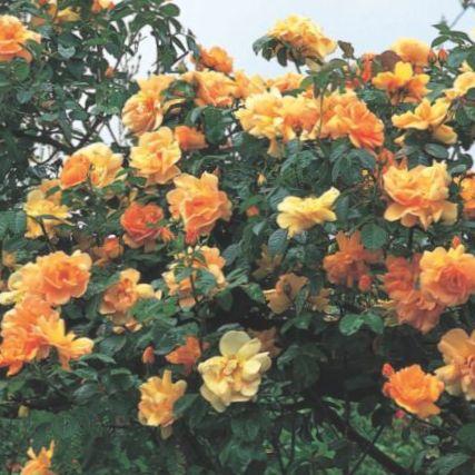 foto rambler rose kletterrose orange. Black Bedroom Furniture Sets. Home Design Ideas