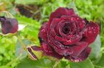 Photo Hybrid Tea Rose, burgundy
