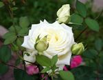 Photo Hybrid Tea Rose, white