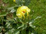 Photo Hybrid Tea Rose, yellow