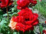 Photo Hybrid Tea Rose, red