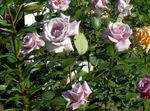 Photo Hybrid Tea Rose, lilac
