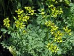Photo Common Rue, Garden Rue, Herb of Grace, Herbygrass, yellow