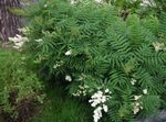 Ural False Spirea