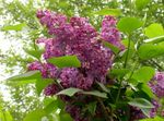 Photo Common Lilac, French Lilac, burgundy