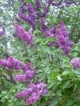 Photo Common Lilac, French Lilac, purple
