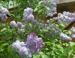 Photo Common Lilac, French Lilac, lilac