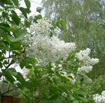 Photo Common Lilac, French Lilac, white