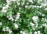 Spirea, Bridal Veil Anketa, Maybush