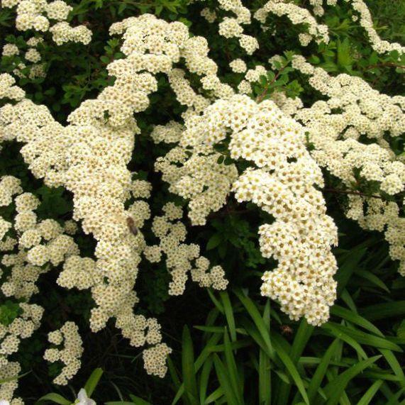 Preferência foto Spirea, Véu De Noiva, Maybush (Spiraea), Arbustos Floridos e  CF41
