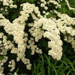 Photo Spirea, Bridal's Veil, Maybush, white