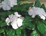 Photo Common Periwinkle, Creeping Myrtle, Flower-of-Death, white