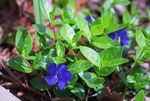 Photo Common Periwinkle, Creeping Myrtle, Flower-of-Death, blue
