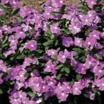 Photo Common Periwinkle, Creeping Myrtle, Flower-of-Death, lilac