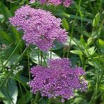 Photo Pimpinella Anisum, lilac
