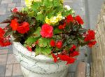 Photo Wax Begonia, Tuberous Begonia, red