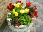 Photo Wax Begonia, Tuberous Begonia, yellow