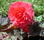 Photo Wax Begonia, Tuberous Begonia, pink