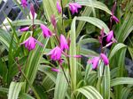 Photo Ground Orchid, The Striped Bletilla, pink