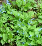 Photo False forget-me-not, light blue