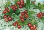 Photo Lingonberry, Mountain Cranberry, Cowberry, Foxberry, red