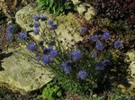 Sheep's bit Scabious, Creeping Winter Savory