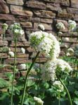 Photo Valerian, Garden Heliotrope, white
