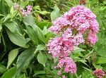 Photo Jupiter's Beard, Keys to Heaven, Red Valerian, pink