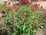 Photo Jupiter's Beard, Keys to Heaven, Red Valerian, red