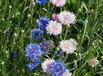 Photo Knapweed, Star Thistle, Cornflower, pink