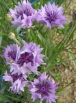 Photo Knapweed, Star Thistle, Cornflower, lilac