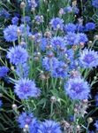 Photo Knapweed, Star Thistle, Cornflower, light blue