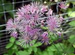 Photo Meadow rue, lilac
