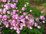 Photo Meadow rue, pink