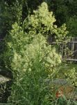 Photo Meadow rue, yellow